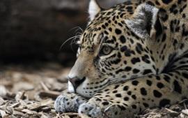Jaguar, repouso, predador, cabeça