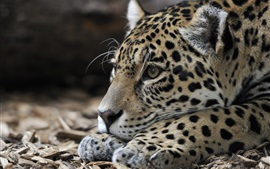 Preview wallpaper Jaguar, rest, predator, head