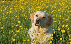 Preview wallpaper Labrador Retriever, dog, yellow flowers