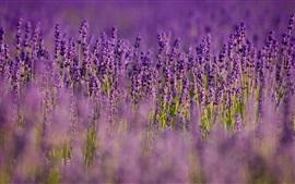 Лаванда, фиолетовые цветы, полевые, размытые