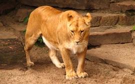 León, gato grande, escalera