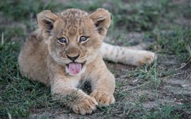 Lion cub rest, tongue