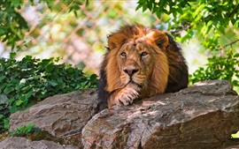 Preview wallpaper Lion resting, rocks, leaves