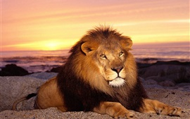 Preview wallpaper Lion, sunset