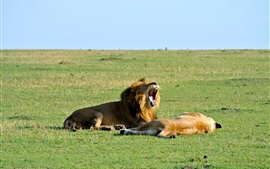 Preview wallpaper Lion yawn, rest, grass