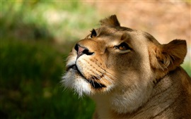 Preview wallpaper Lioness look up, face, eyes