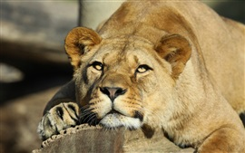 壁紙のプレビュー ライオン、捕食者、大きな猫、動物のクローズアップ