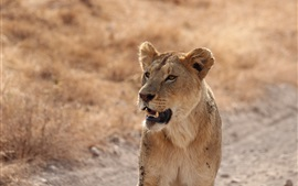Preview wallpaper Lioness, predator, look