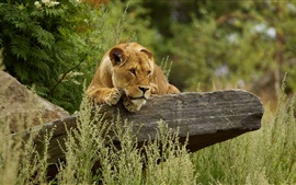 Preview wallpaper Lioness rest, rocks, grass