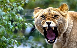 Preview wallpaper Lioness roar, face, teeth