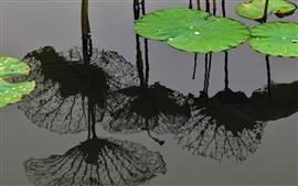Лист лотоса, вода, пруд