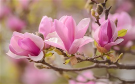 Preview wallpaper Magnolia macro photography, pink petals, spring