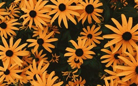 Preview wallpaper Many orange coneflowers