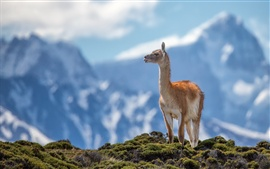 Preview wallpaper Mountains, grass, guanaco