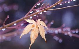 One maple leaf, twigs, water drops, autumn
