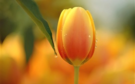 Preview wallpaper One orange tulip flower, dew