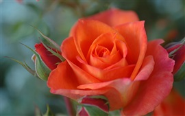 Preview wallpaper Orange colour rose close-up