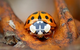 Preview wallpaper Orange ladybug, insect photography