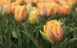 Orange tulipanes, gotas de agua