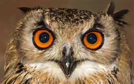 Owl front view, face, eyes