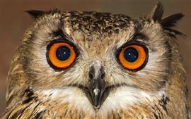 Coruja vista frontal, rosto, olhos