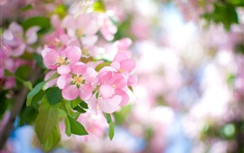 Preview wallpaper Pink apple flowers bloom, spring