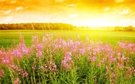 Pink flowers, grass, sunrise, sunshine