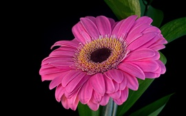Preview wallpaper Pink gerbera, petals, black background