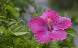Preview wallpaper Pink hibiscus flower