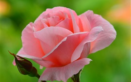 Pink rose and bud, green background