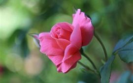 Розовый бутон розы, размытый фон