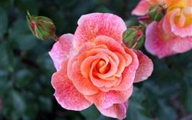 Розовая роза цветы лепестки макросъемка