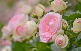 Preview wallpaper Pink roses, flowers, garden