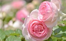 미리보기 배경 화면 핑크 장미, 꽃잎, 정원 꽃