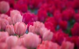 미리보기 배경 화면 핑크 튤립, 정원, 명확 하 고 흐릿한