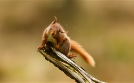 Preview wallpaper Playful squirrel, water drops