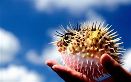 Puffer peixe, bola, espinhos, mão
