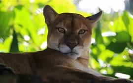 Puma, leão de montanha, folhas verdes