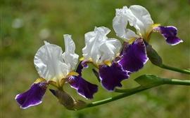 Preview wallpaper Purple flowers, trio, irises
