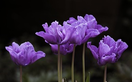 Preview wallpaper Purple tulips bloom