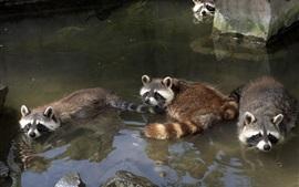 Guaxinins que se banham na lagoa
