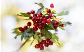 Preview wallpaper Red berries, twigs, bokeh