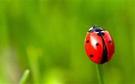 Mariquinha vermelha, grama, fundo verde