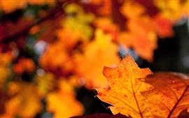 붉은 잎, 눈부심, 흐릿한, 가을