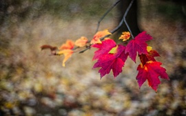Red maple leaves, twigs, autumn, bokeh