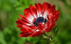 Preview wallpaper Red petals anemone