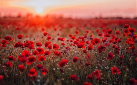 Preview wallpaper Red poppies field, sunset, glare