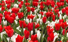 Preview wallpaper Red tulips field, white crocuses