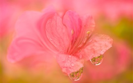 Preview wallpaper Rhododendron pink flower macro photography, dew