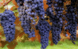 Preview wallpaper Ripe black grapes, autumn